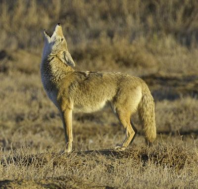 COYOTE HUNTING TIPS: HOW TO HUNT COYOTES WITH ELECTRONIC & REGULAR CALLS