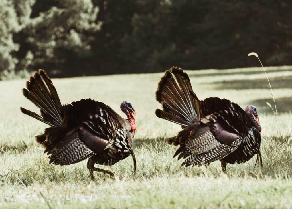 fall turkey hunting