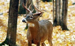 Whitetail Deer in the woods