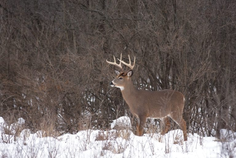 Whitetail in the snow